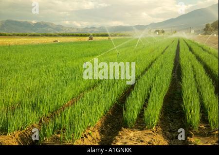 green onions 'scallions' , organic field stock photo