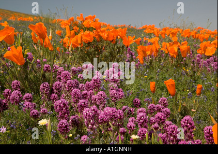 Owls Clover, California Poppies flowering, California - Stock Photo