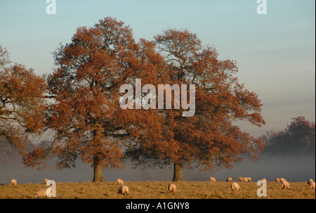 Sheep graze under a mature oak tree - Stock Photo