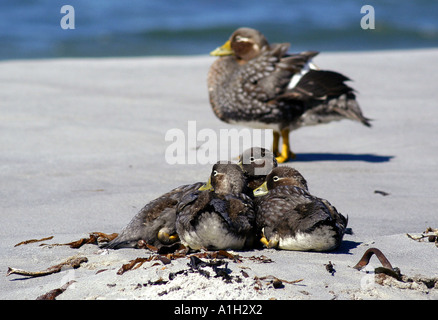Adult female and young ducks on beach in Falklands - Stock Photo
