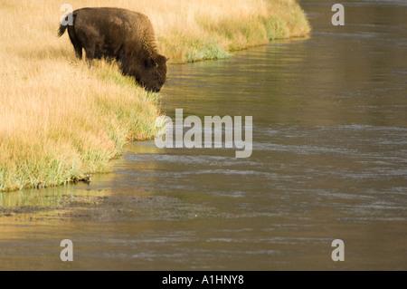Bison (Bison bison) drinking, Maddison River, Yellowstone National Park, Wyoming, USA - Stock Photo
