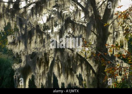 Spanish Moss at Middleton Place, near Charleston, South Carolina, United States of America - Stock Photo