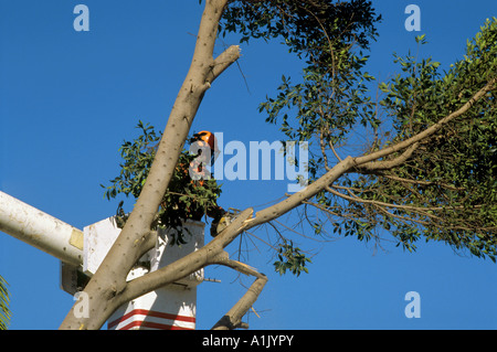 Tree Trimmer at work in Westchester, California - Stock Photo