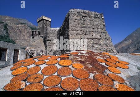 Apricots laid out in flat baskets to dry in the baking Himalayan sun Karakoram Mountains Altit Fort Karimabad Pakistan - Stock Photo