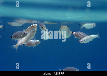 salema,sarpa salpa,saddled bream,oblada melanura, leerfish leer fish lichia amia,Halkidiki,Greece,Aegean,Mediterranean - Stock Photo