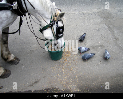 horse and pigeons compete for grain in NYC - Stock Photo