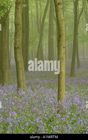Misty bluebells (1) - Stock Photo