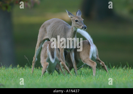 Whitetail deer Often found in or around woodlands fields and farmland The nations most popular game animal Raises - Stock Photo