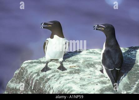 Razorbills two on a cliff ledge - Stock Photo
