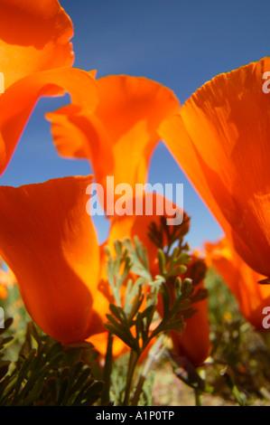 California Poppies Antelope Valley California Poppy Reserve Mojave Desert Lancaster California - Stock Photo