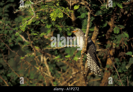 Red Chested Cuckoo - Stock Photo