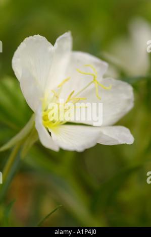 Oenothera caespitosa or Stemless Primrose - Stock Photo