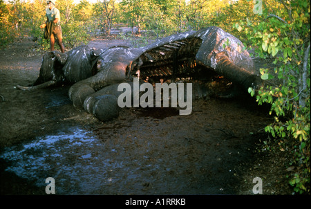 Game warden inspects the carcass of an Elephant killed by poachers Zimbabwe - Stock Photo
