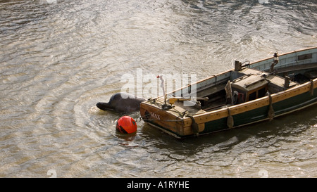 A Northern Bottlenosed whale lost on the River Thames London The whale beside an empty boat moored next to Albert - Stock Photo