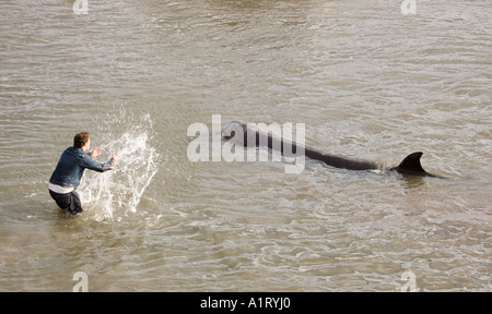 A Northern Bottlenosed whale lost on the River Thames London Next to Albert Bridge Chelsea ENGLAND - Stock Photo