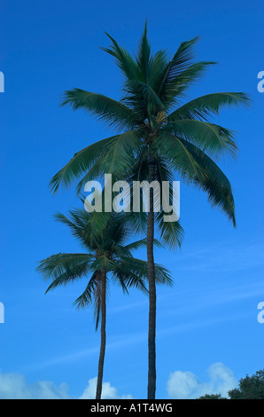 Two towering palm trees against blue sky, Maui, Hawaii, USA (Aug 2006) - Stock Photo