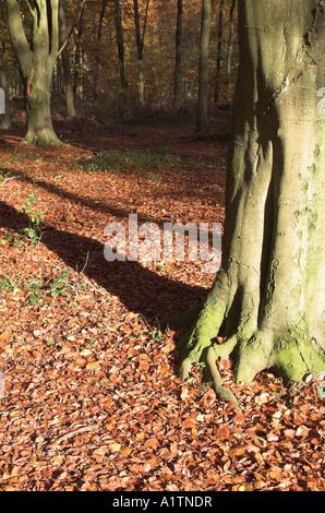 Fagus sylvatica European beech trees , Micheldever Woods , near Winchester , Hampshire , England Nov 06 - Stock Photo