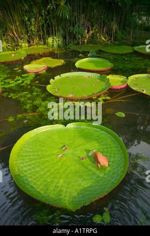Victoria regis lilies Belem Para state Brazil - Stock Photo