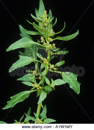 Fig leaved goosefoot Chenopodium ficifolium flowering plant - Stock Photo