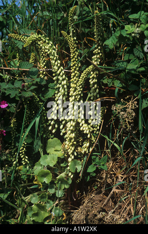 Wall pennywort or navelwort Umbilicus rupestris plant in full flower in a Devon bank - Stock Photo