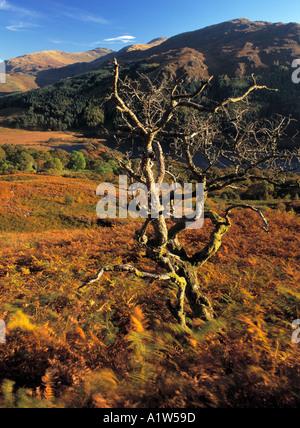 Glen Trool in the Galloway Forest Park autumn landscape dead tree looking across Loch Trool to Mulldonoch Scotland - Stock Photo