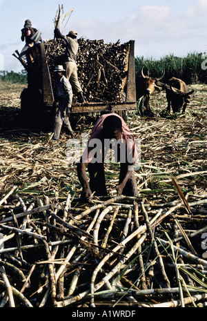 HAITIAN SUGAR WORKERS .LOADING CUT CANE FOR WEIGHING AND TRANSPORT TO REFINERY 1992 - Stock Photo
