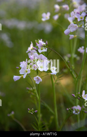 cuckoo flower Cardamine pratensis or lady s smock summer - Stock Photo