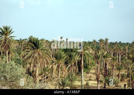 Date palm plantation in Nefta town, Tunisia - Stock Photo