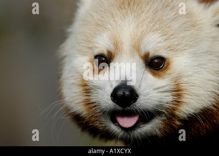 'Red panda', Ailurus fulgens, close up of face - Stock Photo