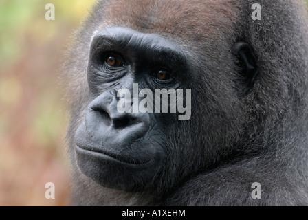 The western lowland gorilla, Gorilla gorilla gorilla - Stock Photo