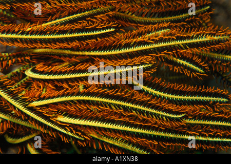 Feather star Oxycomanthus bennetti Dauin Dumaguete Negros Island Philippines - Stock Photo