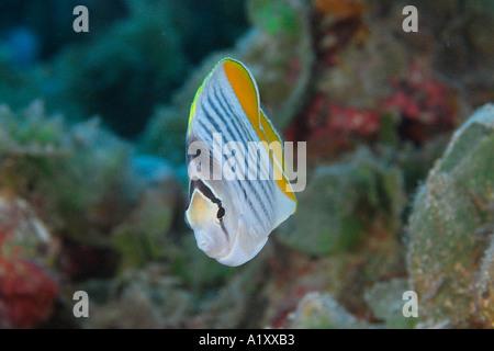 Yellowback Merten s butterflyfish Chaetodon mertensii Namu atoll Marshall Islands N Pacific - Stock Photo