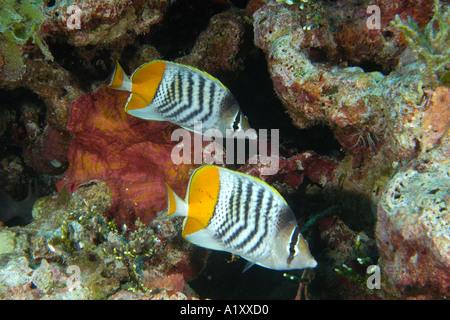 Pair of Yellowback Merten s butterflyfish Chaetodon mertensii Namu atoll Marshall Islands N Pacific - Stock Photo