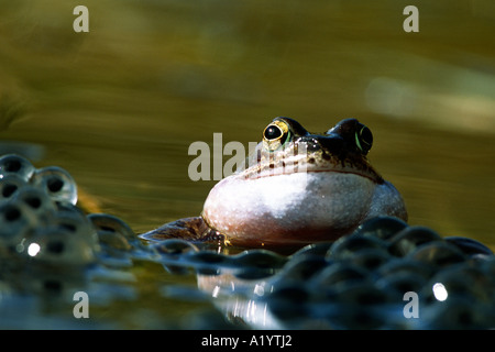 Male Common Frog (Rana temporaria) calling in a breeding pond. Powys, Wales. - Stock Photo