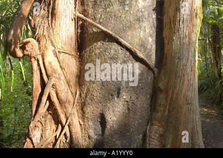 Rata Tree climbing on host Paparoa National Park West Coast South Island New Zealand - Stock Photo