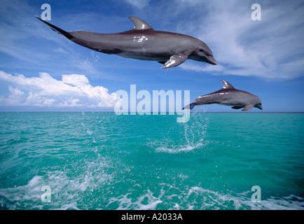 Bottlenose Dolphins jumping Tursiops truncatus - Stock Photo