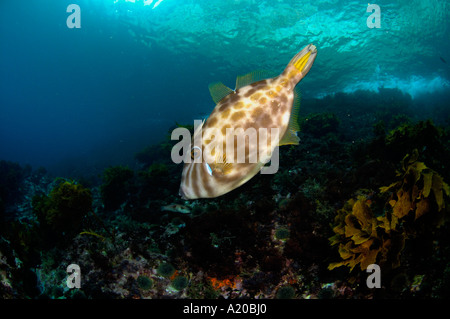 Leatherjacket Parika scaber trigger fish Poor Knights Islands New Zealand South Pacific Ocean - Stock Photo