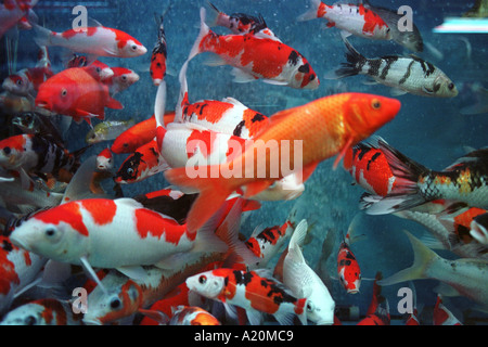 Koi carp, fish charms of financial prosperity for sale in a tank in Tung Choi Street, Hong Kong, China. - Stock Photo