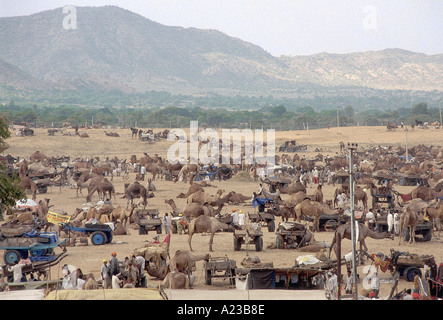 Camels at the Pushkar annual fair, the largest animal fair in the world. It goes on for 12 days in the month of - Stock Photo