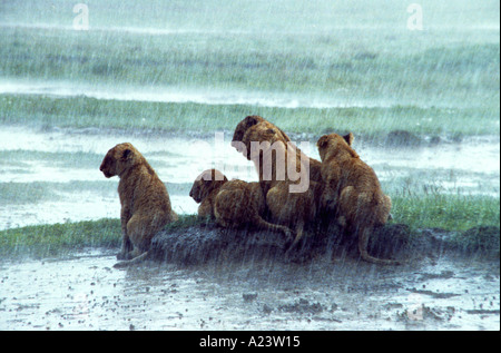 Group of very young lion cubs in Africa sitting on a mudbank in the rain to avoid the water - Stock Photo