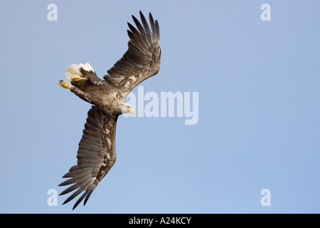 white tailed sea eagle, europe - Stock Photo
