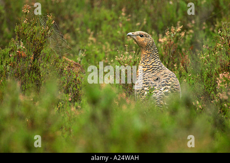 Eurasian Capercaillie Teatro urogallus in heather Dalarna Sweden - Stock Photo