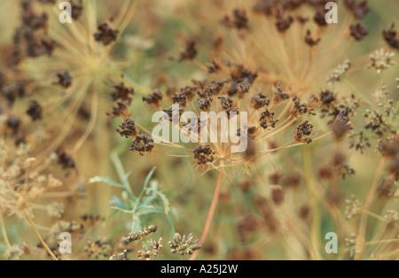 bullwort, toothpick ammi, Bishop's flower (Ammi majus), plant with fruits