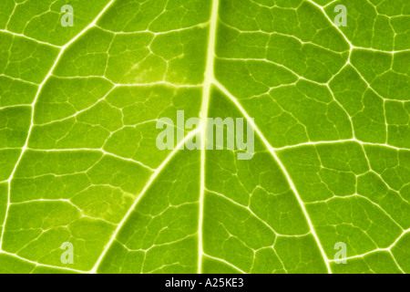 Close up of green fleshy leaf lit from behind - Stock Photo