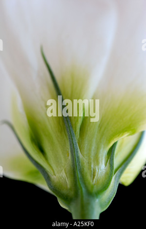 Close up of delicate white Lisianthus flower - Stock Photo