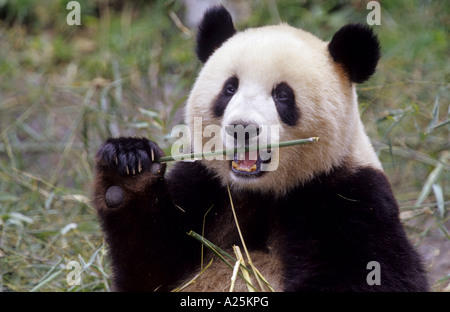 giant panda (Ailuropoda melanoleuca), two years old panda feeding bamboo in the research station of Wolong, national - Stock Photo