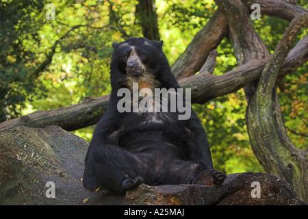 spectacled bear, Andean bear (Tremarctos ornatus), sitting - Stock Photo
