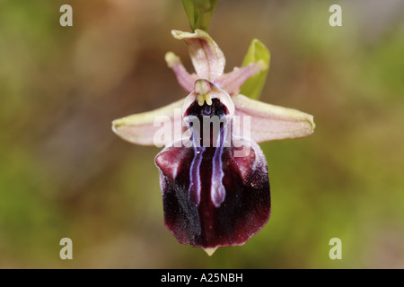 early spider orchid (Ophrys mammosa), detail of the blossom, Turkey, Bafasee - Stock Photo