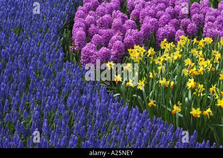 common garden tulip (Tulipa gesneriana), park with flowerbeds with garden tulips, common grape hyacinths, Muscari - Stock Photo
