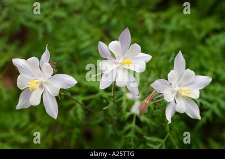 Purple and white COLORADO COLUMBINE Aquilegia coerulea in bloom at CEDAR BREAKS NATIONAL MONUMENT in UTAH - Stock Photo
